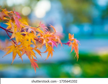 Japanese maple branch close-up. Autumn maple leaves.