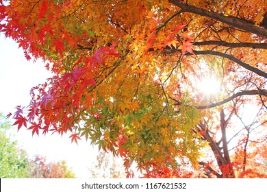 Japanese maple in colorful autumn leaves which bathed in sunlight.