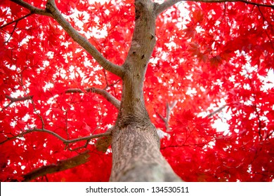 Japanese maple during fall in Kubota Garden, Seattle