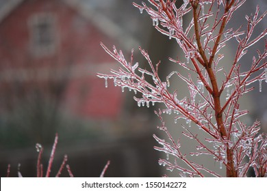 japanese maple encased in ice