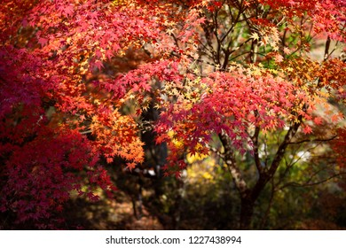 Japanese maple of fall colors