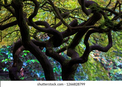 Japanese Maple At Kobota Gardens