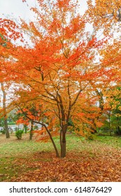 Japanese maple leaf in garden