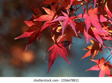 Japanese maple leaves in atumn which called Momiji Matsuri