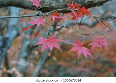Japanese maple leaves in atumn which called Momiji Matsuri