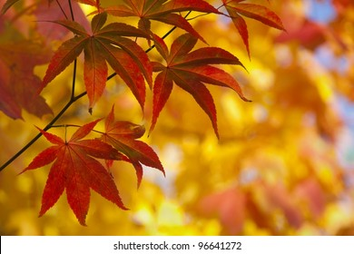 Japanese Maple Leaves in Autumn Color