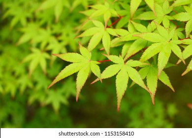 Japanese Maple Leaves - Beautiful Fresh Green