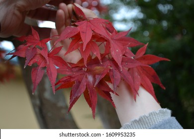 Japanese maple leaves are changing colors