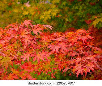 Japanese maple leaves closeup with selective focus. Nature background.