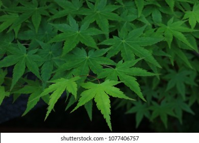 Japanese Maple Leaves - Fresh Green