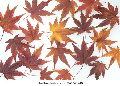 Japanese maple leaves on a white background