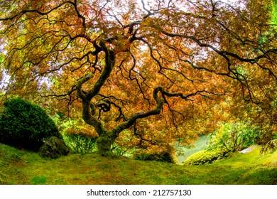 Japanese Maple - Portland, Oregon