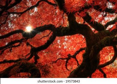 Japanese Maple with sunstar