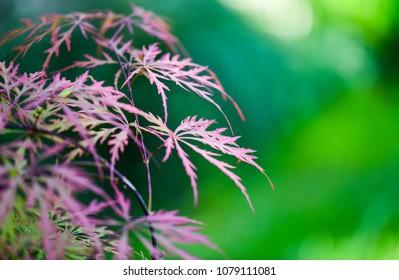 Japanese Maple Tree (Acer palmatum)