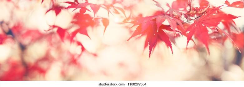 Japanese maple tree in autumn