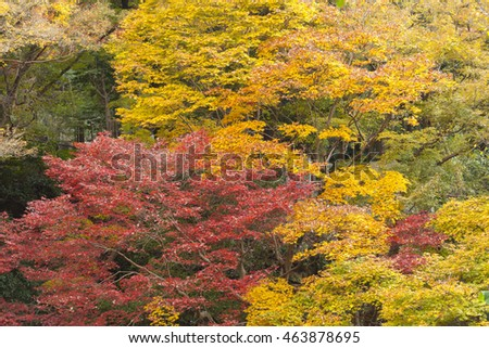 Japanese Maple Tree Autumn Maruyama Park Stock Photo Edit Now