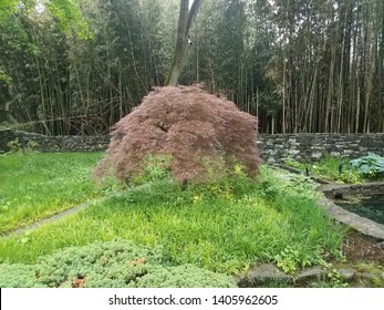 Japanese maple tree with bamboo and stone wall