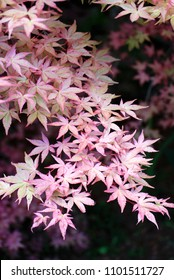 Japanese Maple Tree - beautiful fall color leaves on a branch