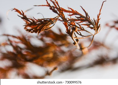 A Japanese maple tree branch blows in the wind. It's leaves are rusty orange in fall.
