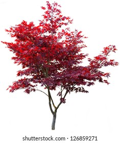 Japanese maple tree on white