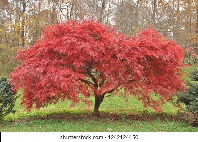 Japanese maple tree at peak foliage