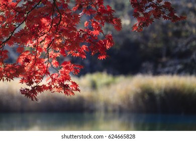 Japanese maple tree turns red in the fall
