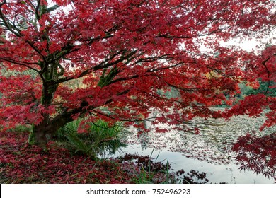 Japanese maple trees in a park in Canada in autumn
