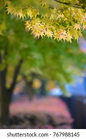 Japanese maple trees - shallow focus