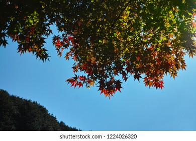 Japanese marple leaves in autumn on a clear blue sky