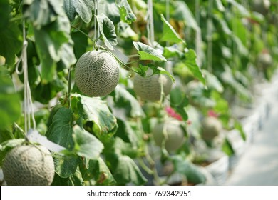 Japanese melons or green melons and cantaloupe melons plants growing in organic farm.