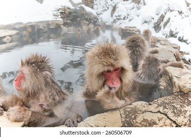 The Japanese monkey which thinks about something in a hot spring