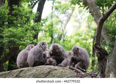 Japanese monkey Yakushima