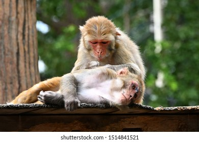 japanese monkeys couple with grooming