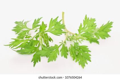 Japanese mugwort on white background.