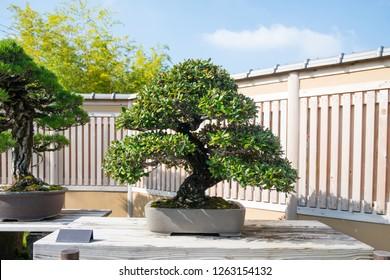 Japanese Oleaster bonsai tree in Omiya bonsai village at Saitama, Japan