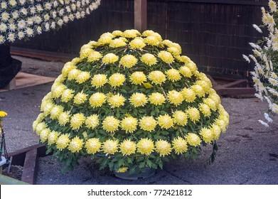 Japanese ozukuri chrysanthemums