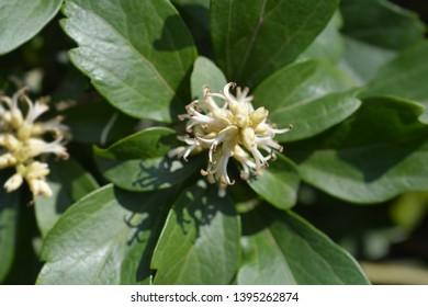 Japanese pachysandra - Latin name - Pachysandra terminalis