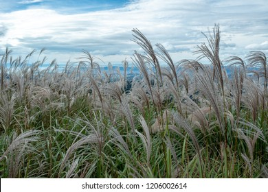 The japanese pampas grass