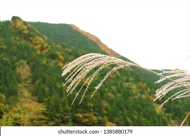 Japanese pampas grass with mountain of autumn leaves in Japan.