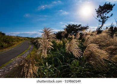 Japanese pampas grass, road, landscape. Okinawa, Japan, Asia.