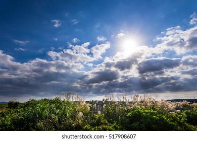 Japanese pampas grass, A shaft of light, landscape. Okinawa, Japan.