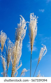 Japanese Pampas Grass or Susuki Grass against blue sky