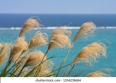 Japanese pampas grass, susuki, Miscanthus sinensis, with sea and blue sky in bacground, Ishigaki Island, Okinawa, Japan.