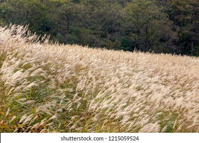 Japanese pampas grass at Yamanakako Village, Yamanashi Prefecture, Japan.