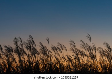 Japanese pampas grasses swaying in the breeze in the twilight