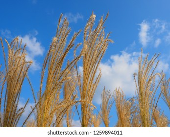 Japanese Pampas Grass(Susuki grass or Miscanthus sinensis) blowing in the wind over clear sky