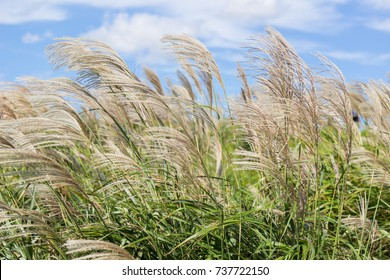 Japanese Pampas Grass(Susuki grass,Miscanthus sinensis) blowing in the wind