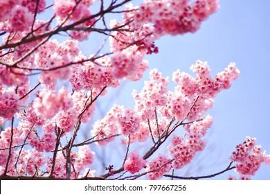 Japanese pastel pink sakura are blooming under blue sky and bright sunlight during spring season
