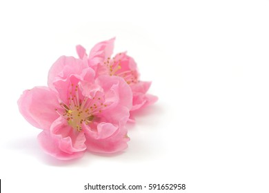 Japanese peach blossom on white