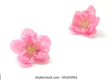 Japanese peach blossom on white #2